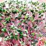 Sprout seeds radish